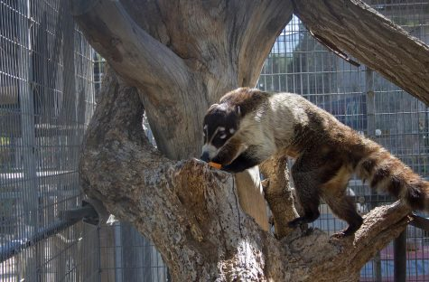 Six-year-old Wiley the white-nosed coati is one of the newest additions to EATM.