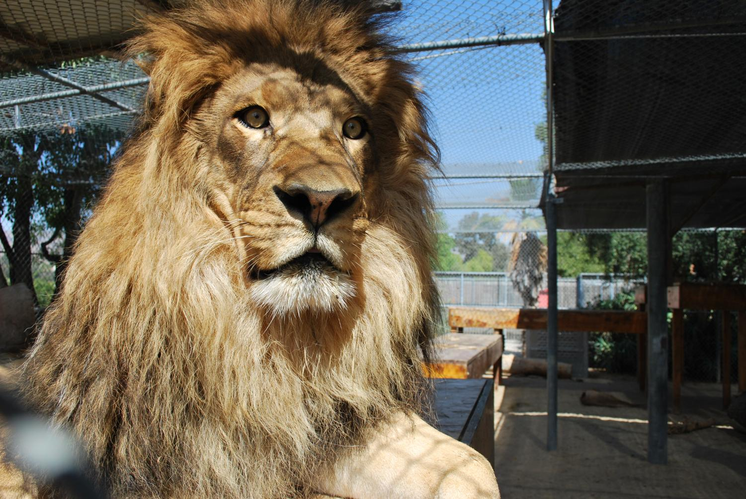 Ira will celebrate his sixth birthday at America's Teaching Zoo on Feb. 1. The public will also get a preview of his newly expanded home called Ira's Kingdom. Photo courtesy of Moorpark Collage Photo Gallery.