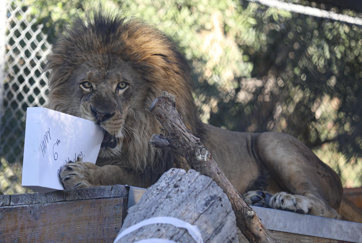 Ira the lion chews on a gift filled with meat he received during his birthday celebration at America's Teaching Zoo on Saturday, Feb. 1. Ira was celebrated for his sixth birthday. Photo credit: Ryan Bough