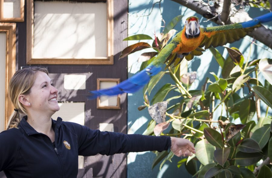 Bryenna Workman releases Salsa, the 31 year-old Catalina Macaw, during dress rehearsal for the 2019 Spring Spectacular at America's Teaching Zoo at Moorpark College on Thursday, March 7, 2019. Salsa made a flying entrance and exit over the crowd, flaunting his feathers. Photo credit: Evan Reinhardt