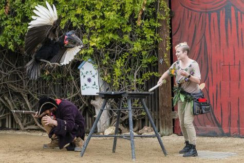 Trainer Lydia Dresel instructs Beaker, the Abyssinian Ground Hornbill, to fly over Hovig Chobanian in EATM's Spring Spectacular on Sunday, March 15, at America's Teaching Zoo in Moorpark, Calif. Photo credit: Natalie Saraf