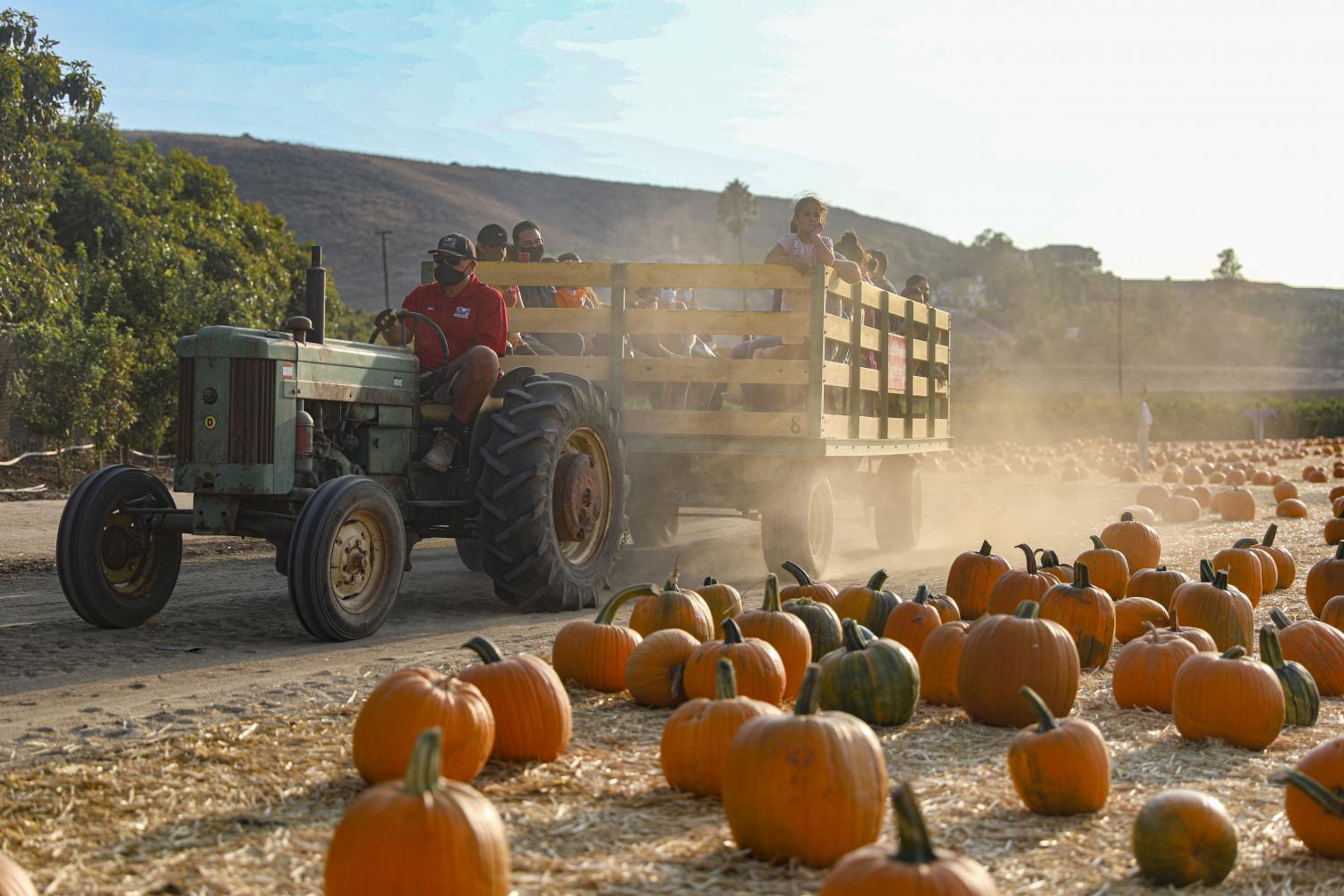 The Fall Harvest tractor ride full of guests drives though the pumpkin patch on Thursday, Oct. 15, in Moorpark CA. The tractors shows guests through the Underwood Family Farm's 40-acre farm before dropping them off at the sunflower fields.