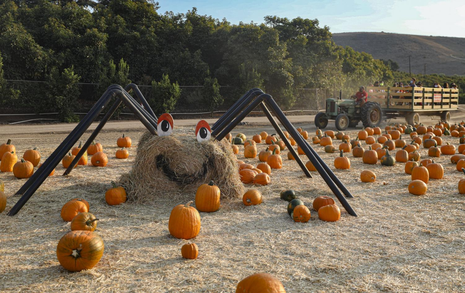 A spider made of hay lies in the field of pumpkins ad a tractor full of guests pass by on Oct. 15, in Moorpark, CA.