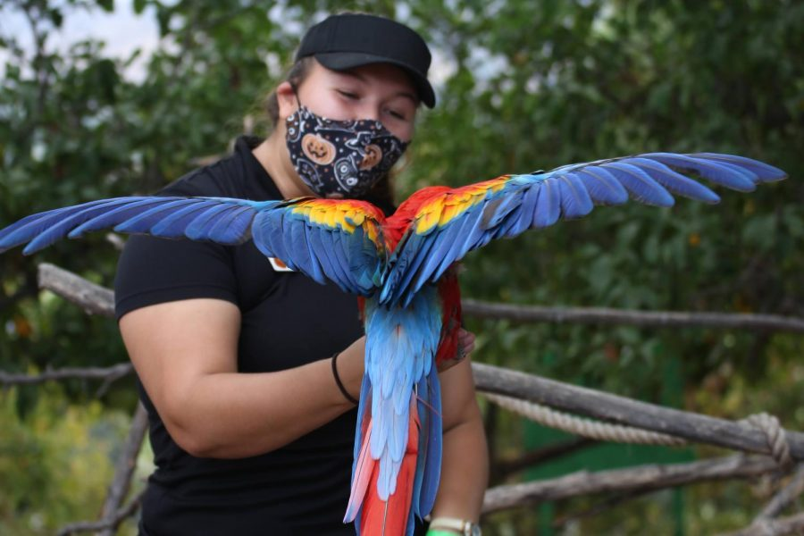 EATM student, Aimee Dennis, shows off the scarlet macaw named Rox's beautiful wings on Nov. 1, 2020, in Moorpark, CA. EATM or America's Teaching Zoo is located at Moorpark College and offers on hand experience for student learning zoology. Photo Credit: Audrey Lang