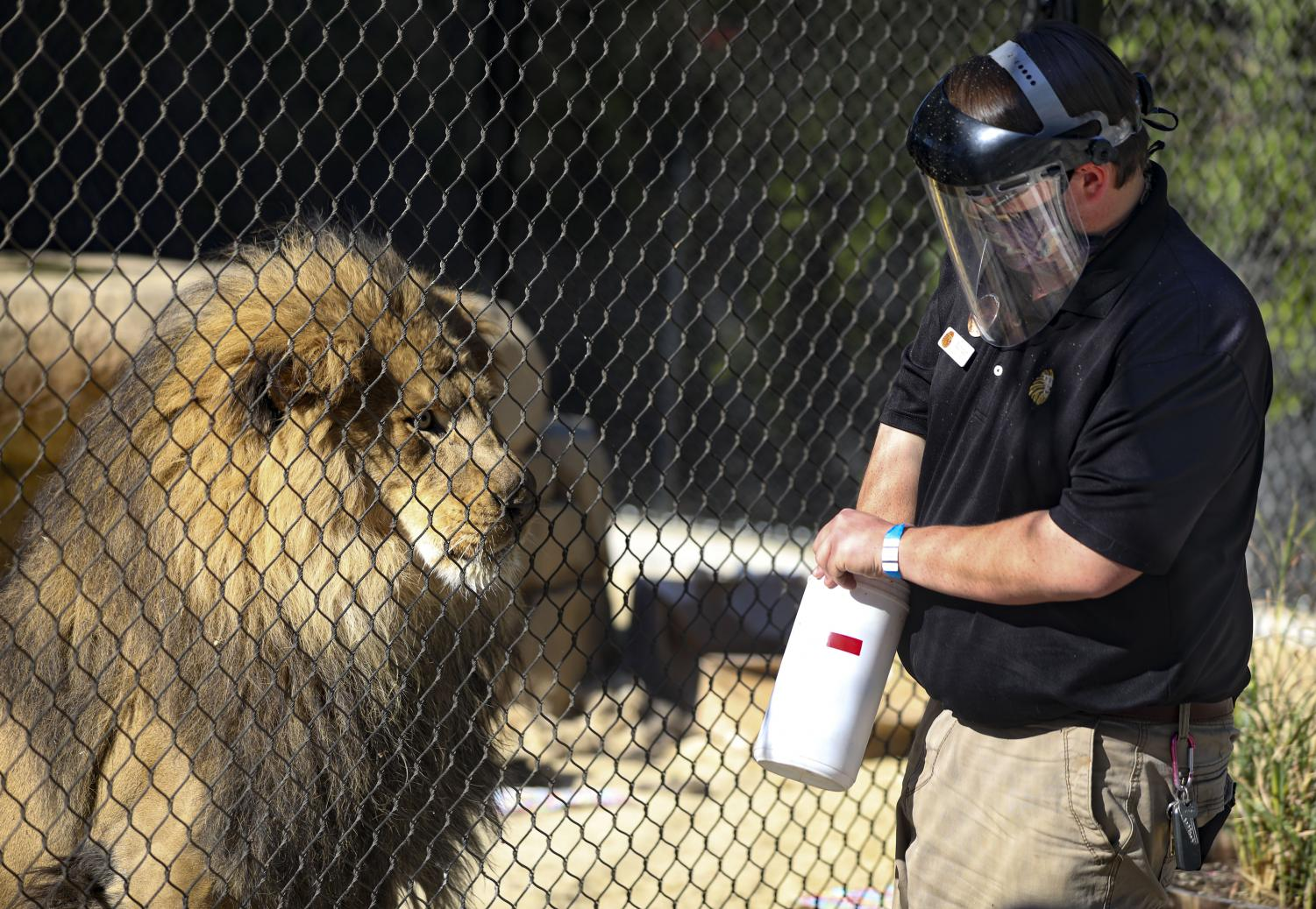 Xander Mora, a second year EATM student, feeds Ira the lion during Ira's seventh birthday celebration at America's Teaching Zoo in Moorpark, CA on Saturday, Feb. 6, 2021.