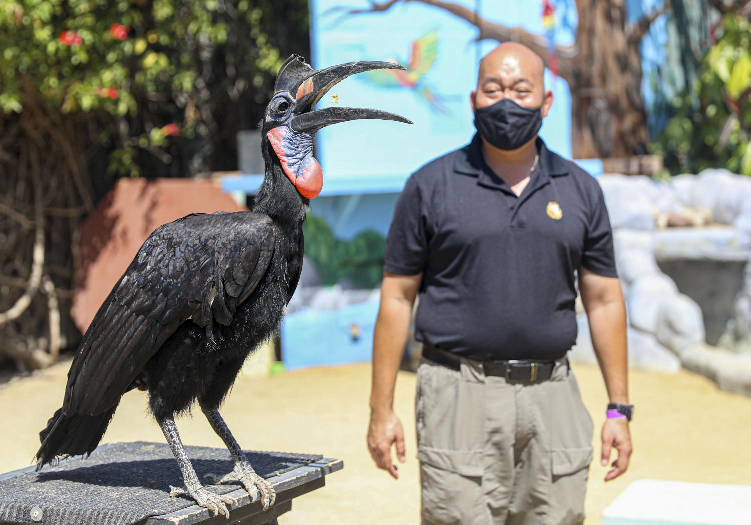 Beaker, an Abyssinian Ground Hornbill, catches a treat as Gary Mui poses behind him