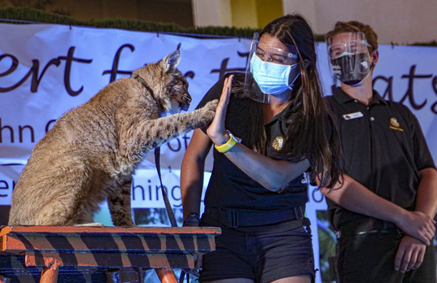 Butch the Bobcat high-fives an EATM student during the Concert for Cats event on Friday, Sept. 10, 2021, at Moorpark College, CA. Photo credit: Valeri Roussak